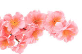 Close up of flower pink branch. — Stock Photo
