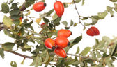 Branch rose hips — Stock Photo
