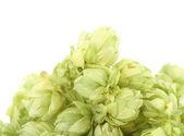Beautiful fresh hops. — Stock Photo