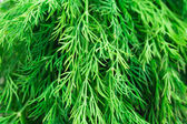 Fresh dill herb — Stock Photo