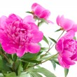 Bouguet of peony flowers — Stock Photo