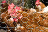 Chicken in a henhouse — Stock Photo