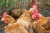 Chickens in a henhouse — Stock Photo