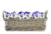 Purple pansies in a reed basket — Stock Photo