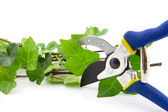 Cutting secateurs with branches of ivy plant isolated — Stock Photo