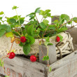 Wooden  crate with wild small strawberry plant — Stock Photo