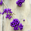 Twig of a purple berries plant — Stock Photo