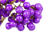 Macro of beautyberry bush — Stock Photo