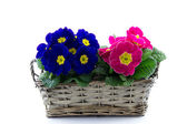 Purple and pink primrose in reed basket — Stock Photo