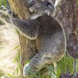 Stock Photo: Sleeping koala hugging a tree