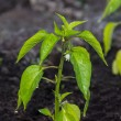 Pepper growing on fertile soil — Stock Photo