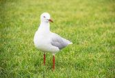Weiße möwe in das grüne gras — Stockfoto