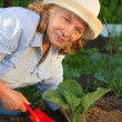 Woman working in the garden. care for cabbage — Stock Photo