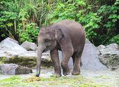 Baby elefant äter gräs — Stockfoto
