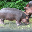 Mom and baby hippo eat food — Stock Photo