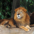Lion resting on a tree — Stock Photo