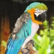 Colorful Blue-and-yellow Macaw  — Stock Photo