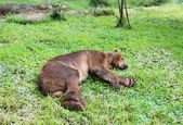 Bear sleeping on green grass — Stok fotoğraf