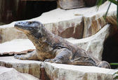 Komodo Dragon, the largest lizard in the world — Stock Photo
