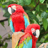 Pair macaw sitting on branch — Stock Photo