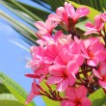 Frangipani Spa Plumeria Flowers — Stock Photo #37744303