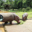 Stock Photo: Two hippo eating green grass