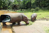 Two hippo eating green grass — Stock Photo