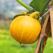 Hanging beautiful large pumpkin on the field — Stock Photo