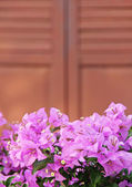 Pink blooming bougainvilleas outdoors outside — Stock Photo