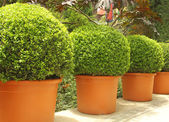 Trees in pots — Stock Photo