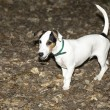 jack russel puppy — Stock Photo