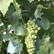 Farmer cuts a bunch of grapes — Stock Video