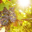 Bunch of grapes at sunset — Stock Photo