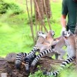 Stock Video: ROMA, Italy - Aug 30, 2013: Employee of 'Bioparco' feed playful lemurs.