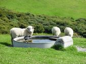 Pukeko and sheep drinking from a well — Stock Photo