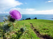 Thistle on top of agreen hill in front of the sea — Stock Photo
