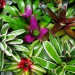 Entangled bromeliads — Stock Photo