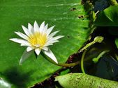 White water lily — Stock Photo