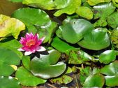 Water lily with a pink blossom — Stock Photo