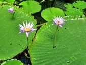 Water lily above lily pads — Stock Photo