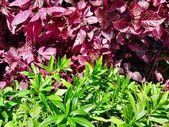Folhas de vermelhas e verdes — Foto Stock