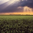 Corn fields and sunbeams — Foto de Stock