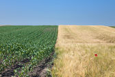 Divided fields of barley and corn — Stock Photo
