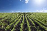 Cornfield in bright sunlight. — Stock Photo