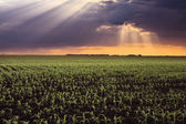Corn fields and sunbeams — Stock Photo