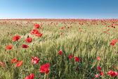Field of poppies on sunny day — Stock Photo