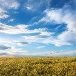 Barley field on a sunny day — Stock Photo