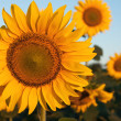 Stock Photo: One dominant sunflower in field of sunflowers