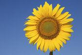 Słonecznikowy przeciw krystalicznie czyste, błękitne niebo — Zdjęcie stockowe