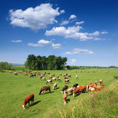 Herd of cows grazing in a carefree morning — Stock Photo